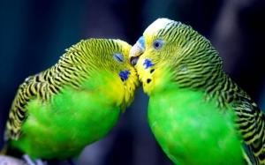 Опухоль у попугая