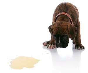 Собака начала писать дома причины
